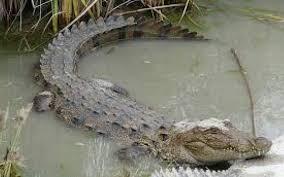 حمله تمساح به دختربچه ۱۰ ساله